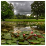 Lilypond, Glastonbury Abbey